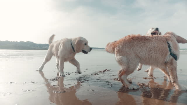 golden retrievers playing on beach - three animals stock videos & royalty-free footage