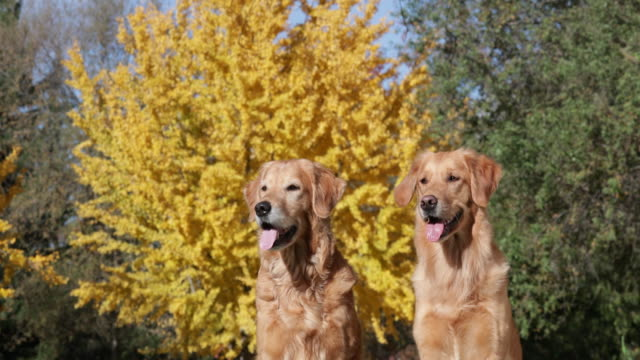 Golden Retrievers sitting in front of fall tree