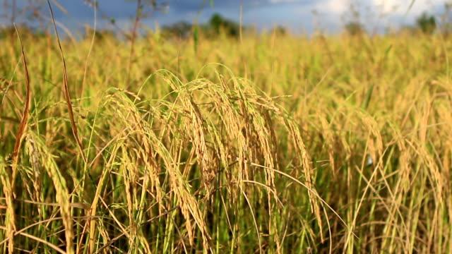 vídeos de stock e filmes b-roll de campo de arroz dourado - parte do corpo animal