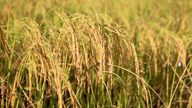 vídeos y material grabado en eventos de stock de golden arroz campo - oreja animal