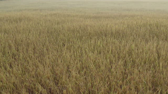 golden rice fields in the morning - sunny stock videos & royalty-free footage