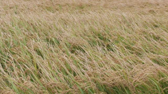 golden rice in the field, taiwan, asia - satoyama scenery stock videos & royalty-free footage