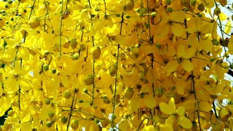 vídeos y material grabado en eventos de stock de golden ducha árbol - árbol tropical