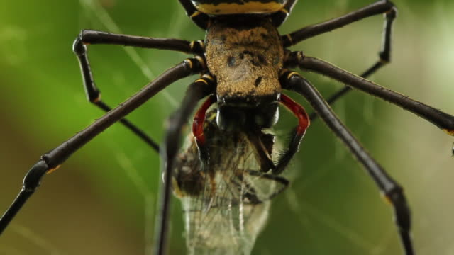vídeos y material grabado en eventos de stock de golden silk orb weaver spider feeds on dragonfly carcass wrapped in silk. - mosca insecto