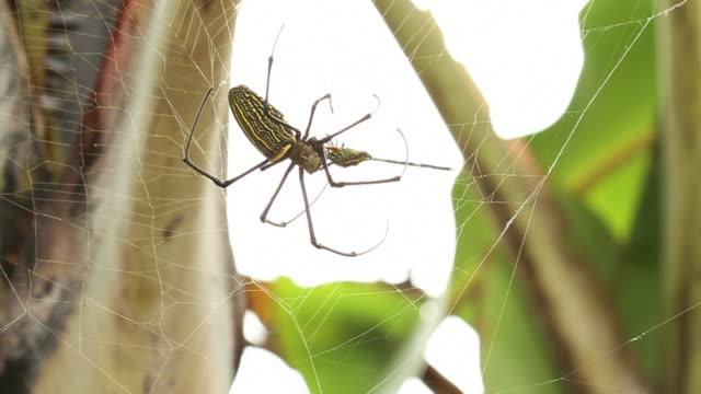 golden silk orb weaver spider feeds on dragonfly caught in web. - 捕らわれる点の映像素材/bロール
