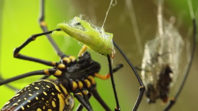 golden silk orb weaver spider wraps grasshopper carcass in silk. - zweiflügler stock-videos und b-roll-filmmaterial