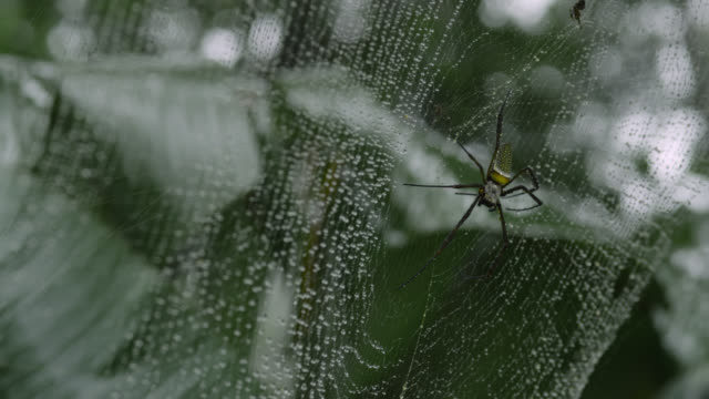 golden silk orb-weaver spider (nephila clavipes) cleans itself on web in rain. - spider web stock videos & royalty-free footage