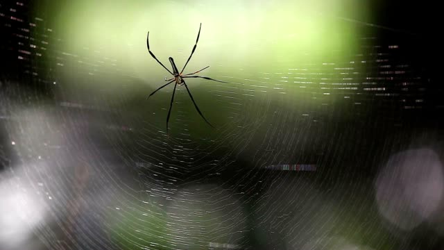 golden silk orb-weaver spider (nephila pilipes) on the web - arachnophobia stock videos & royalty-free footage
