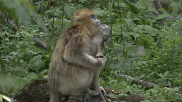 golden snub nosed monkey baby clings to mother, foping, china - primate stock videos and b-roll footage