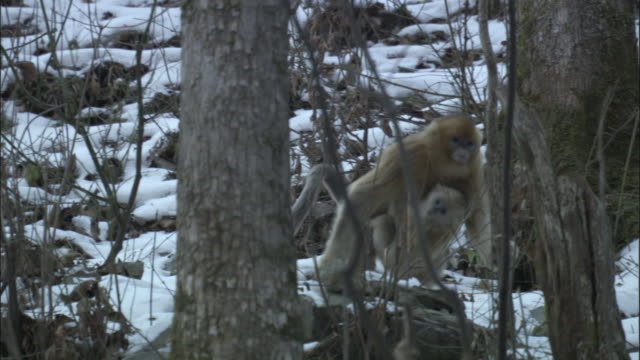 Golden snub nosed monkey carries baby through forest, Zhouzhi National Nature Reserve, China