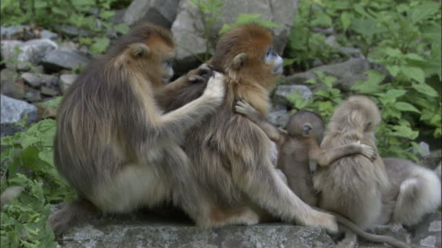 stockvideo's en b-roll-footage met golden snub nosed monkey family sit and groom each other, foping, china - lichaamsverzorging