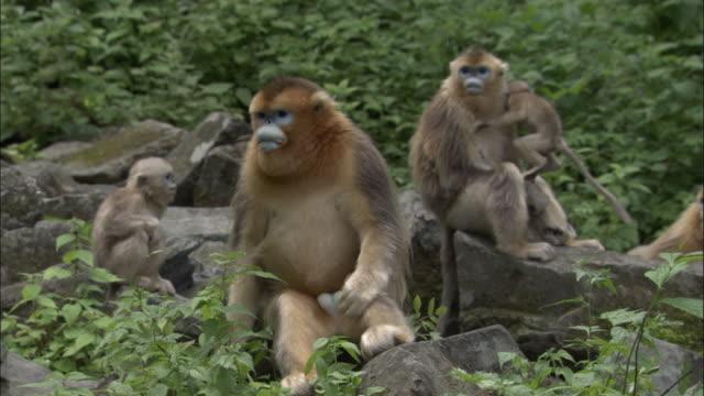Golden Snub nosed monkey group sit amongst rocks, Foping, China