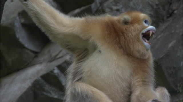 golden snub nosed monkey looks around and bares teeth, foping, china - domination stock videos and b-roll footage