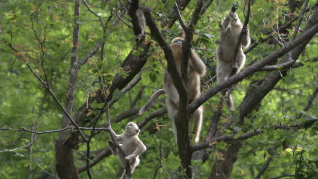Golden snub nosed monkeys clamber up tree to branch, Foping, China