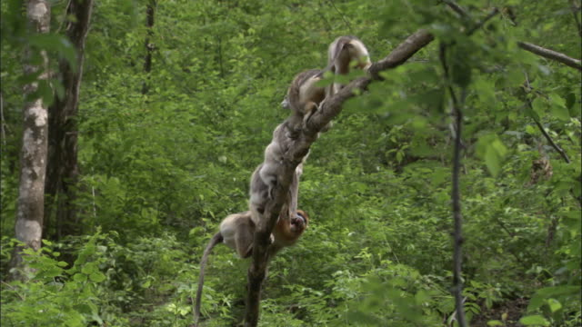 golden snub nosed monkeys leap over others on branch, foping, china - hoppa bock bildbanksvideor och videomaterial från bakom kulisserna