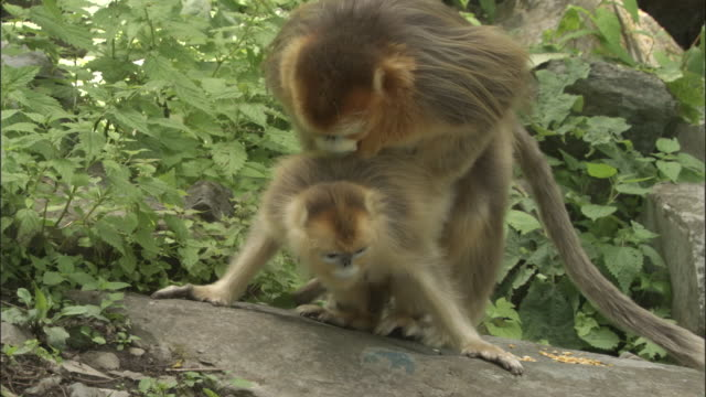 golden snub nosed monkeys mating, foping. - reproduction stock videos and b-roll footage