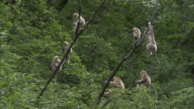 golden snub nosed monkeys swing in tree, foping, china - group of animals stock videos & royalty-free footage