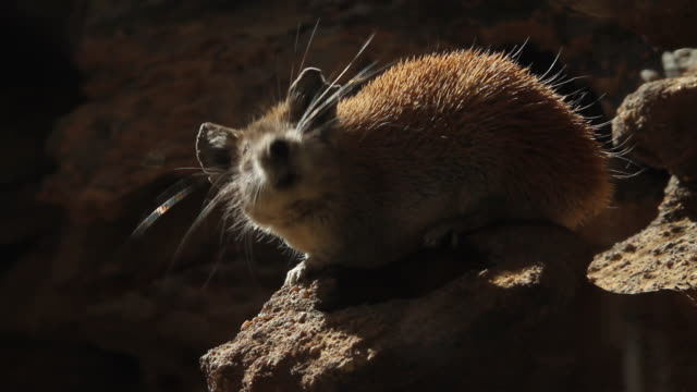 golden spiny mouse (acomys russatus)  on sandston shelf at night - rodent stock videos and b-roll footage