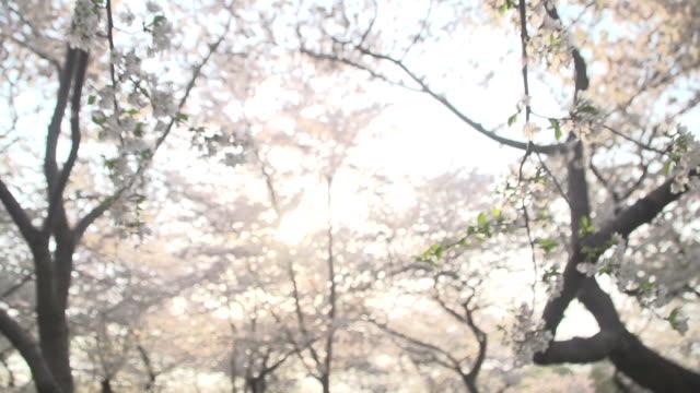 golden sun softly shinning through blossoms - bribing stock videos & royalty-free footage