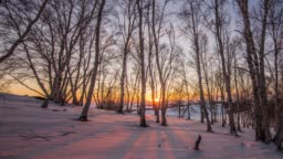 Golden sunlight between trees in birch grove during sunset on winter evening