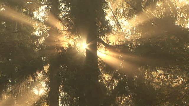 ZO, MS, LA, Golden sunlight shining through forest canopy, Washington State, USA