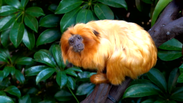 golden tamarin - endangered species stock videos & royalty-free footage