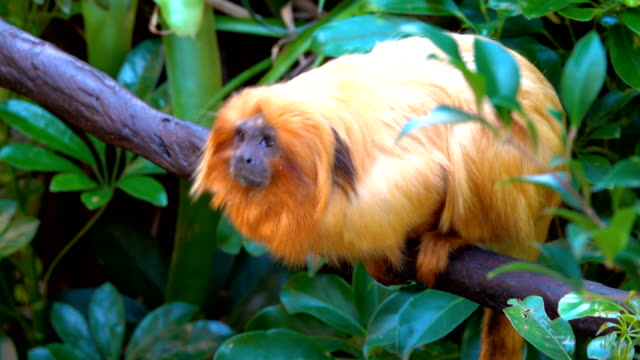 vídeos y material grabado en eventos de stock de tamarin dorado - animal head