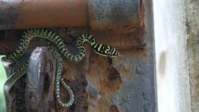 Golden tree snake on old gate