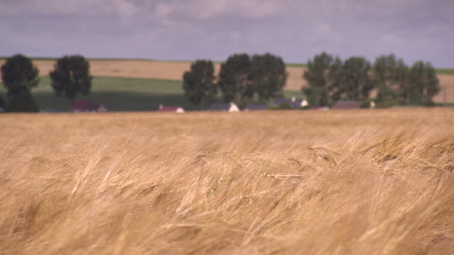 Golden wheat crops sway in a breeze in front of a village in the Somme region, Hauts-de-France.