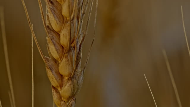 ecu golden wheat ear - ear of wheat stock videos and b-roll footage