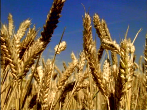 cu golden wheat ears, england - cereal plant video stock e b–roll