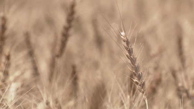 cu, golden wheat ears, gunma, japan - 六月点の映像素材/bロール