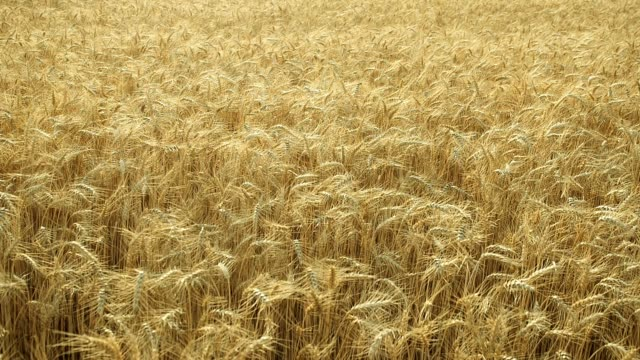 Golden wheat field blowing in wind - VIDEO