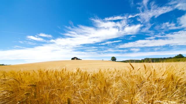 Campo di grano dorato danza del vento