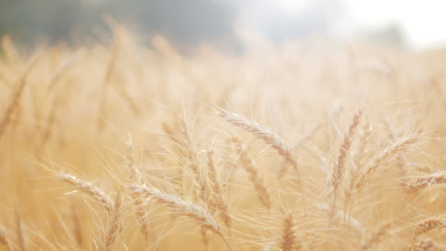 golden wheat field in the wind , close-up , 4k(uhd) - saturated colour stock videos & royalty-free footage