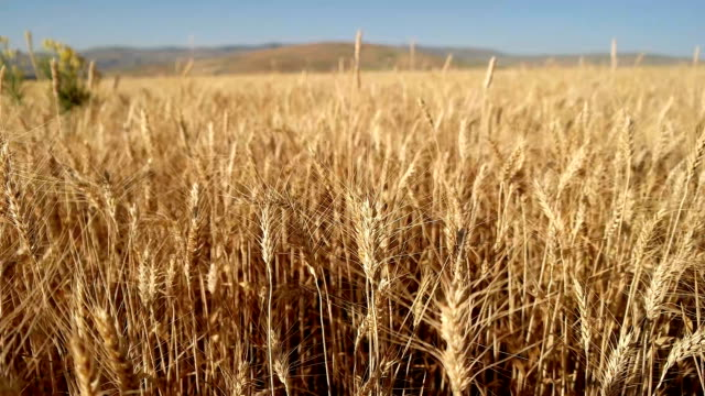 golden wheat field in the wind slow motion movement , close-up - barley stock videos and b-roll footage