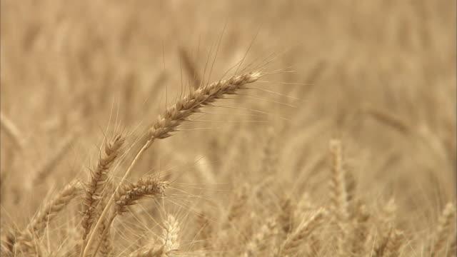 golden wheat field, kagawa, japan - 小麦点の映像素材/bロール