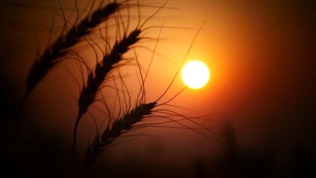 Gouden tarwe veld beweging in de wind, close-up, zonsondergang tijd, 4k(UHD)