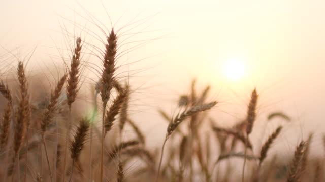 vídeos de stock e filmes b-roll de campo de trigo dourado movimento no vento ao pôr do sol tempo, close-up, 4 k (uhd - oscilar