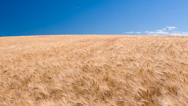 golden wheat field on a clear sunny summer day - provence alpes cote d'azur stock videos and b-roll footage