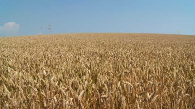 stockvideo's en b-roll-footage met hd dolly: golden wheat field - volkorentarwe