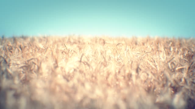 golden wheat field (loopable) - sepia stock videos and b-roll footage