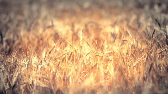 golden wheat field - vignettierung stock-videos und b-roll-filmmaterial
