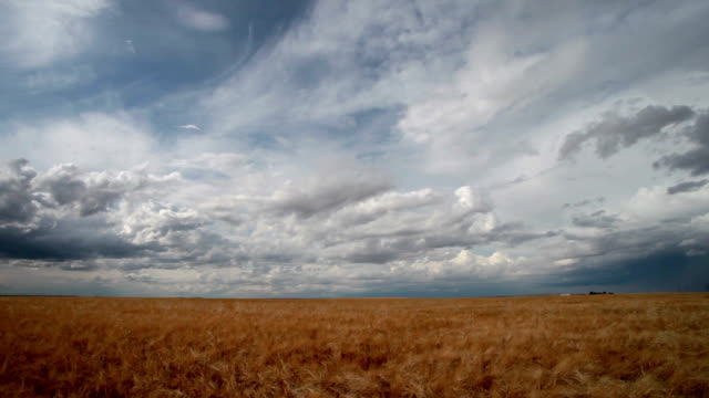 Golden wheat field with dramatic clouds in sky.