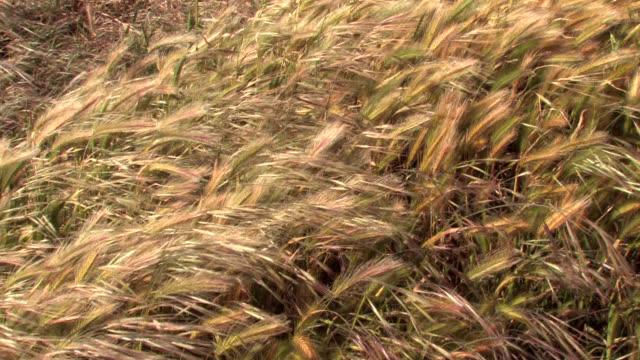 vídeos de stock e filmes b-roll de trigo dourado relva mandar a balançar ao vento - filme documentário