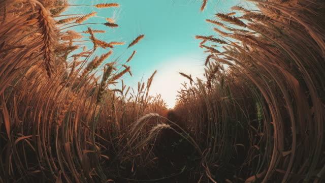 vr360 gyllene veteväxter fält - naturens skönhet bildbanksvideor och videomaterial från bakom kulisserna