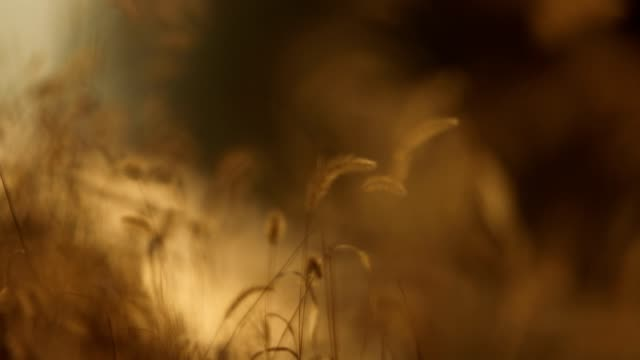 Gouden tarwe planten
