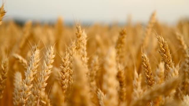 dolly hd: aste di grano dorato - panning video stock e b–roll