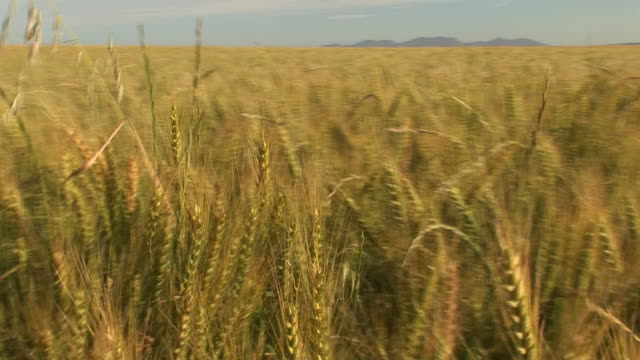 golden wheat sways in the wind. - wholegrain stock videos & royalty-free footage