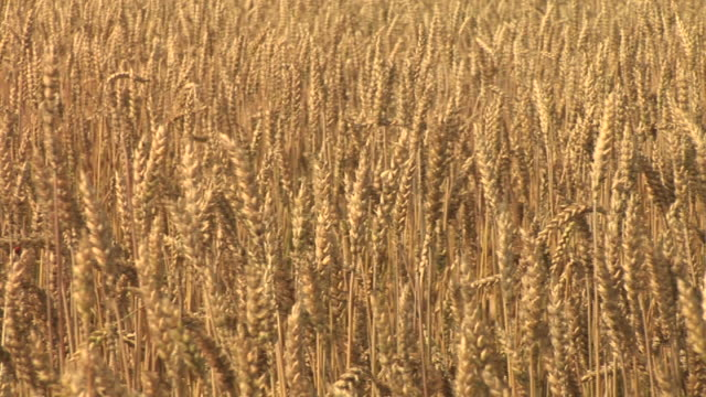 hd: golden wheat - monoculture stock videos & royalty-free footage